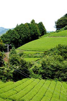 Japanese tea fields in Fujieda - Shizuoka Shizuoka, Win A Trip, Matcha Green Tea, Japan Travel, Fields, Vineyard, Japanese, Facebook, News