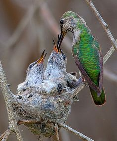 Hummingbird Feeding Chicks--Hummingbirds use lichen and lots of sticky spiderwebs, to make their typical nests with. It can vary with different breeds.