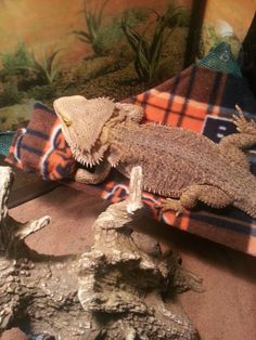 Bearded dragon bed!!!!
