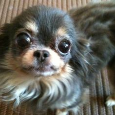 :) **Look into my eyes... I will make you smile! I am that cute! #chihuahua