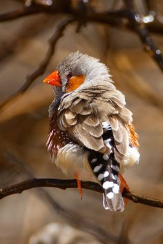 Zebra Finch is the most common estrildid finch of Central Australia and ranges over most of the continent, avoiding only the cool moist south and the tropical far north. It can also be found natively in Indonesia and East Timor.