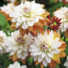 I'm so in love with this new variety of dahlia. Dahlia Flower, My Flower, Flora Garden, White Dahlias, Garden Bulbs, Beautiful Photos Of Nature, Blooming Plants, Bulb Flowers, Outdoor Plants