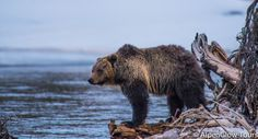 Grizzly - Grand Teton National Park