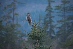 A Great Grey Owl perched atop a young sitka spruce at dusk in southwestern British Columbia, Canada.  Check out my Facebook photography page to follow along with my travels!