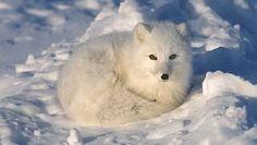 My favorite fox breed, the artic fox.