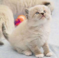 Ragamuffin cat   Cute as a Kitten ❤   Pinterest)