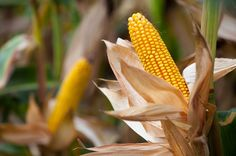 Corn (Maize): Health Benefits, Side Effects, Fun Facts, Nutrition Facts and History Healthy Corn, Corn Maize, Stone Barns, Nutritional Value, Keto Diet Plan, Diet And Nutrition, Health Benefits, Fun Facts, Lose Weight