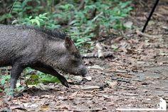 Pecari - La National Geographic cataloga al Parque Corcovado y sus alrededores como la región con mayor biodiversidad del mundo y realmente lo es, ni bien bajamos de la lancha los monos titi muy curiosos vinieron a saludarnos.