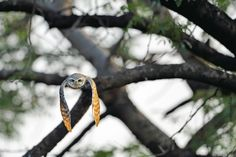 Spotted Owlet - Ranthambore Tiger Reserve. Image: Aditya Singh/Sanctuary Award 2011.