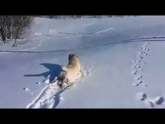 Labrador body slides down hill in the snow - YouTube