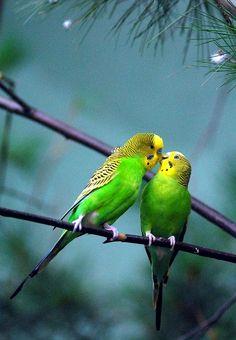 Parakeet | http://beautifulbirdofparadise.blogspot.com / No Brasil são os periquitos australianos , pertencem a família dos PSITACÍDEOS , como araras , tuim, papagaios e lori