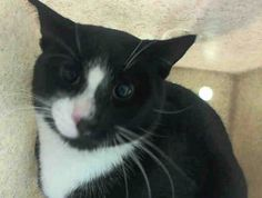 ***SAFE*** 11/22/14 Brooklyn Center  My name is POEM. My Animal ID # is A1020998. I am a male black and white domestic sh mix. The shelter thinks I am about 1 YEAR  I came in the shelter as a STRAY on 11/18/2014 from NY 11368, owner surrender reason stated was STRAY. New Hope Only! http://www.urgentpetsondeathrow.org/cats/tbd-cats/