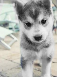 Black and white husky