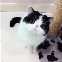 Smushed Faced Kitty - Adorable