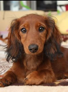 l long haired dachshund