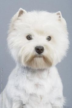 West Highland Terrier - SUCH A PRETTY FACE ~ ...........click here to find out more http://googydog.com