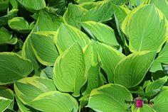 Hosta Plantaginea #photography #card #print #canvas #nature #foliage #hosta