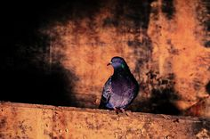 Tunnel Pigeon - Original fine art pigeon urban photography by Bob Orsillo Copyright (c)Bob Orsillo / http://orsillo.com - All Rights Reserved.  Buy original urban photography online at www.boborsillo.com