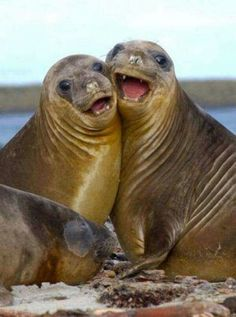 """Sea Lions:  """"So Happy Together!""""  ❤"""