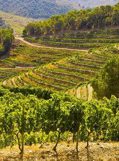 Bodegas Torres,  vinyes del Penedès