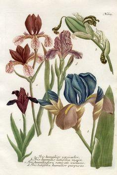 Johann Weinmann Phytanthoza Iconographia Botanical Prints -  Iris humilior versicolor