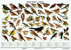 Naši ptáci - pěvci - nástěnná tabule ( 96x67cm ) | ALBRA - Prodej a distribuce učebnic