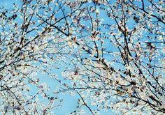 COOL画「青空とさくら」[ジュリ子] | ART-Meter