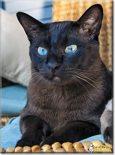 Beautiful Stuart the spunky, loyal Tonkinese from Bay Shore, New York is today's Cat of the Day! Read Stuart's story and see his photo at ht...