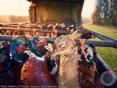 Pheasants at Sunset by Matthew Thomas. Category: Bring Home the Harvest 2017 Photos, Food Photo, Wine Recipes, Pink Ladies, Harvest, Lady, Sunset, Image, Butterflies