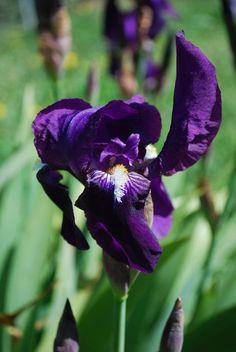 Lirio lila_detalle_(iris germanica)