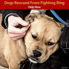 Dogs Rescued From Fighting Ring - Help Now at The Animal Rescue Site *Please Spay, Neuter & Save a Life ~ Adopt from shelter/rescue ♥