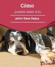 Cómo puedes saber si tu perro tiene fiebre La fiebre nos afecta a todos y desgraciadamente también a nuestros animales. ¿Cómo saber si nuestro perro tiene fiebre? Y lo más importante, ¿cómo ayudarle? #fiebre #ayudar #alimentación #perro