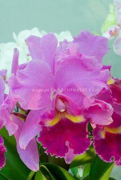Laeliocattleya (Sophrocattleya) Quo-Vadis 'Floralia' cattleya orchid
