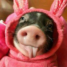 Cute little animals, little pigs, cute funny animals, baby animals, Cute Baby Pigs, Cute Piglets, Cute Animal Videos, Cute Animal Pictures, Funny Pig Pictures, Cute Little Animals, Cute Funny Animals, Funny Pigs, Mini Pigs