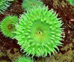 Anémone de mer anthopleura elegantissima | Fichier:Anthopleura xanthogrammica 1.jpg