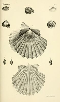 Shells. Bibliothèque conchyliologique t.1  Paris,A. Franck,1845-1846.  Biodiversitylibrary. Biodivlibrary. BHL. Biodiversity Heritage Library