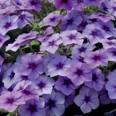 'Intensia Blueberry' Phlox flowers all summer long, attracting butterflies. tall and wide. Purple Plants, Blue And Purple Flowers, Tropical Plants, Purple Garden, Yellow Roses, Pink Roses, Phlox Flowers, Planting Flowers, Flowers Garden