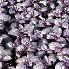 Herb Seed - Basil Summer Surprise