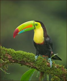 awesome keel billed toucan wallpaper ololoshka Pinterest