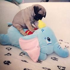 Pug Puppy massaging his Dumbo Elephant Cuddly Toy