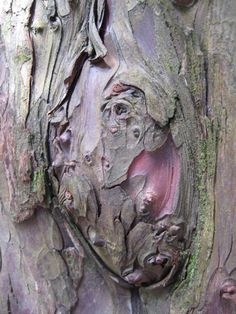 yew bark ~ a potent cancer fighting agent!