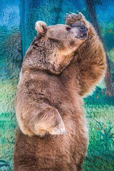 Photograph Big Brown Bear is very shy to take a photo by Mike Kolesnikov on 500px