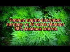 Растение, которое за 16 часов убивает 98% раковых клеток!