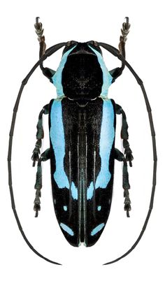 Tragocephala caerulescens Beetle Insect, Beetle Bug, Insect Art, Beetle Juice, Weird Insects, Cool Insects, Bugs And Insects, Reptiles, Longhorn Beetle