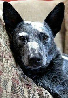 Australian cattle dog named Duke