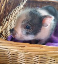 Miniature Pet Pigs – Why Are They Such Popular Pets? – Pets and Animals Cute Baby Pigs, Cute Piglets, Animals And Pets, Funny Animals, Farm Animals, Teacup Pigs, Mini Pigs, Pet Pigs, Tier Fotos