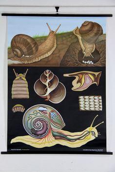 Snail Zoology Wall Chart