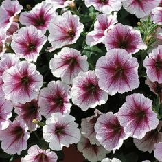 Photo of Raspberry Ice Opera Supreme Petunias, Petunias