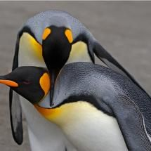 Penguin couple in South Georgia Island