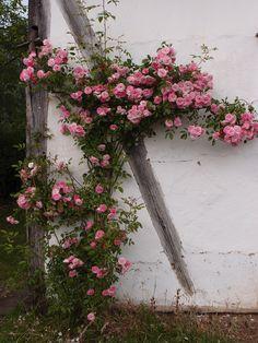 Roos in Bokrijk